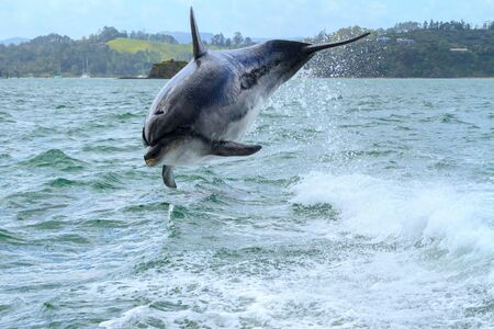 A common dolphin leaping from the water. Photographed in the Bay of Islands, New Zealand