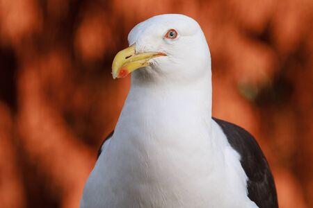 Closeup of a big black-backed gull (kelp gull), peering curiously at the camera Stock Photo
