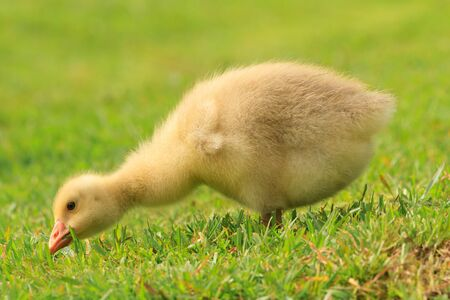 A fluffy yellow gosling (baby goose) nibbling grass in a field Banque d'images