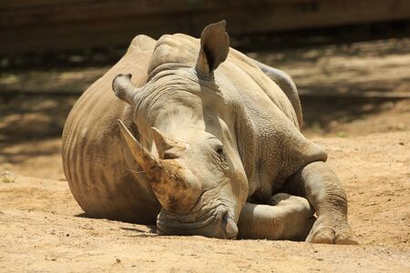 An adult southern white rhinoceros, lying down in the sunlight Stock Photo