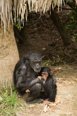 A chimpanzee mother holding her child