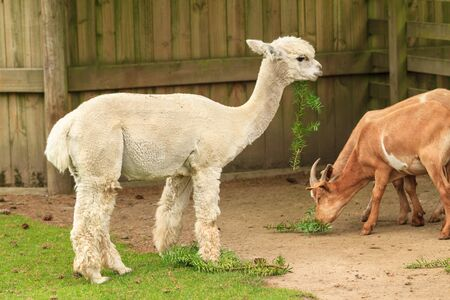A young white alpaca eating leaves, with a couple of goats nearby Stok Fotoğraf