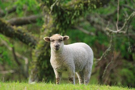 A white sheep standing in front of a forest background. Photographed in New Zealand