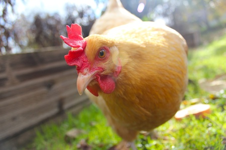 Curious Yellow Chicken Reklamní fotografie