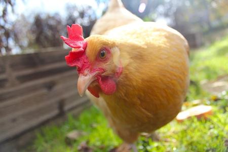 Curious Yellow Chicken Banco de Imagens