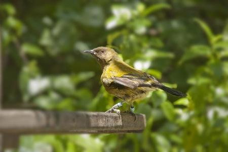 native bird: Un ave nativo de Nueva Zelanda. Imagen filmada en Wellington, Nueva Zelanda. Foto de archivo