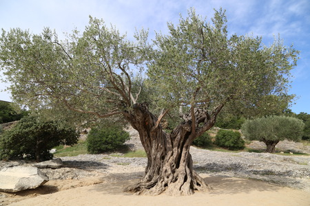 olive tree Banque d'images