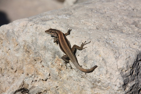 squamata: lizard Stock Photo