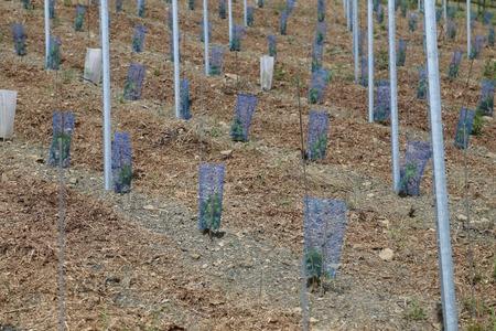 new grapevine