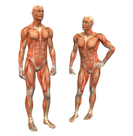 anatomy muscle man standing w clipping mask