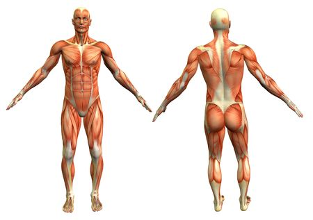 Anatomía hombre # 4  Foto de archivo - 281196