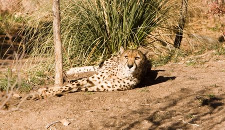 leopard relaxes Stock Photo - 333464