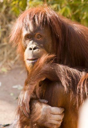 peering: ape peering at spectators Stock Photo