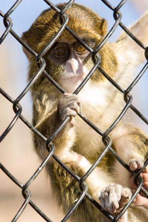 grate: cattivit� scimmia