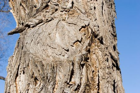 cottonwood tree texture photo