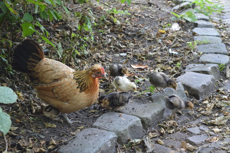 barnyard: Mother hen with her chicks Stock Photo