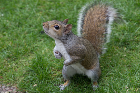squirrel isolated: Grey Squirrel Stock Photo