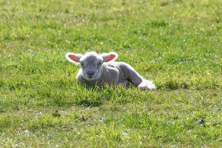 lonley: Lonley lamb laying in grass field
