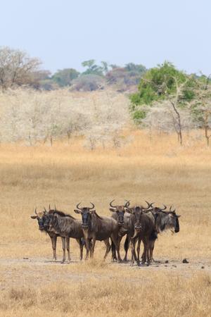 Wildebeest looking in the Serengeti, Tanzania