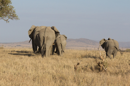 Family of elephants walking into the distance in Serengeti, Tanzania