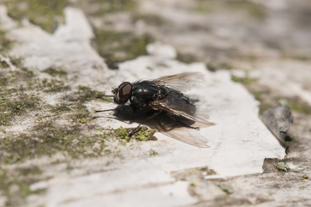 Fly on silver birch tree with closeup of leg and eye