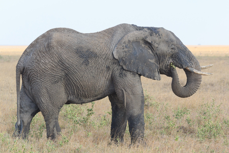 Elephant standing and eating in the Serengeti savanna in Tanzania, Africa