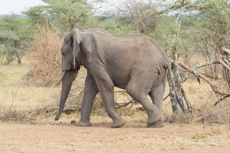 Elephant walking quickly in the Serengeti savanna with one leg in air