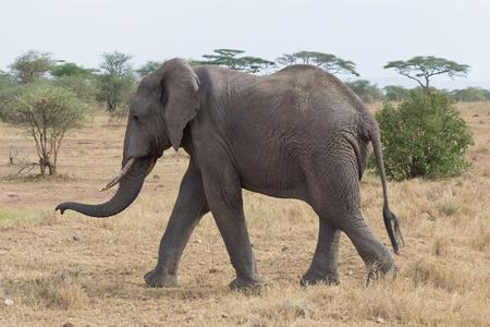 Elephant walking in the Serengeti savanna in Tanzania, Africa Stock Photo