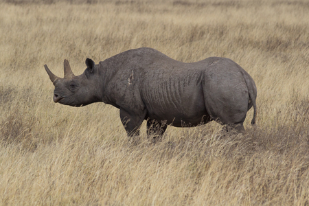 Rhino in Ngorongoro Crater with wound on upper leg