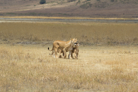 Lioness with lion cub showing affection