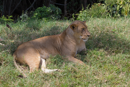 Lioness laying on the grass in Kenya Stock Photo