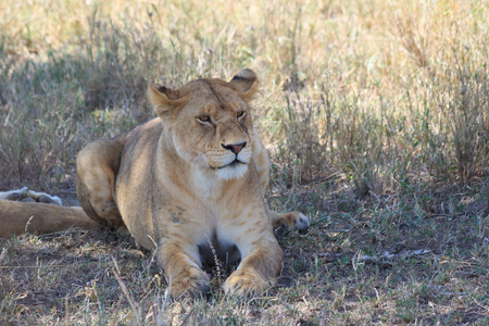 Lioness laying on the grass in Tanzania
