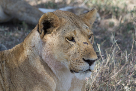 Close up of lioness in Tanzania Stock Photo