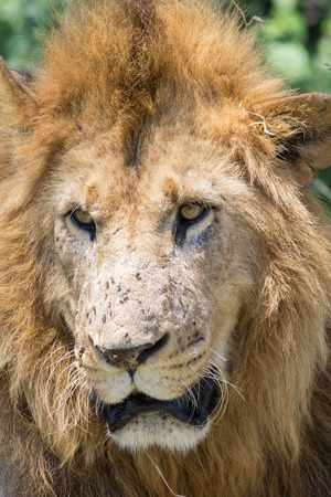 Close up of male Lion in Kenya