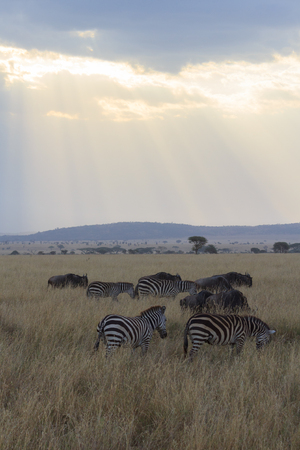 Rays of sunlight shining on the Serengeti savanna with zebra grazing