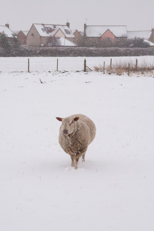 A sheep standing in a snow covered field during a snow shower