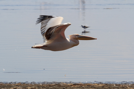 White pelicans flying at Lake Nakuru with blurred wings showing motion