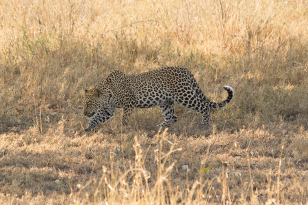 Leopard walking in Serengeti, Tanzania