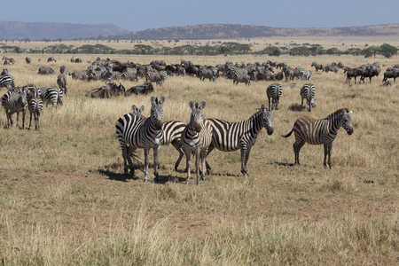 Herd of zebra with some looking in Serengeti, Tanzania