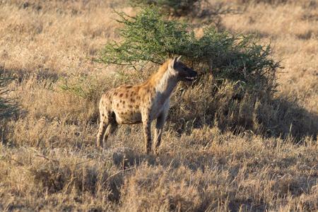 Hyena looking for prey in the Serengeti, Tanzania Stock Photo