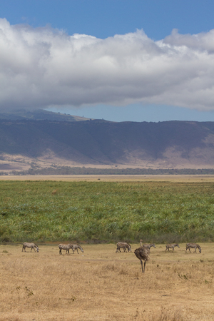 View of Ngorongoro Crater edge with zebra and emu in foreground