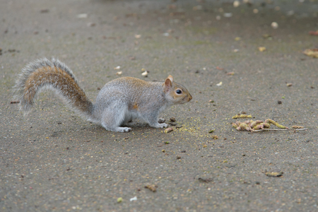 Grey Squirrel on the ground facing right