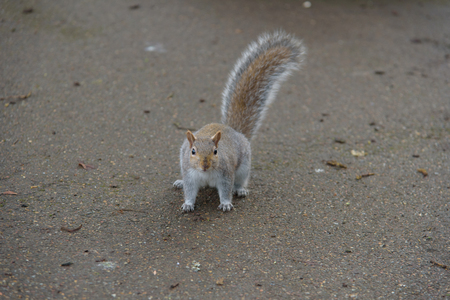 Grey Squirrel on the ground looking at the camera
