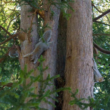 Three Grey Squirrels on a tree - one hiding, one moving and one still