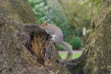 Grey Squirrel sitting on tree and looking to the left Stock Photo