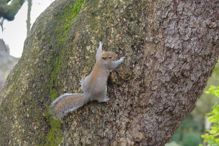 Grey Squirrel hanging on tree and looking to the right