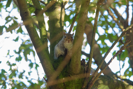 Grey Squirrel sitting in a tree and looking at camera Stock Photo