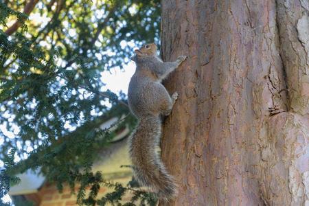 Grey Squirrel hanging on tree vertically