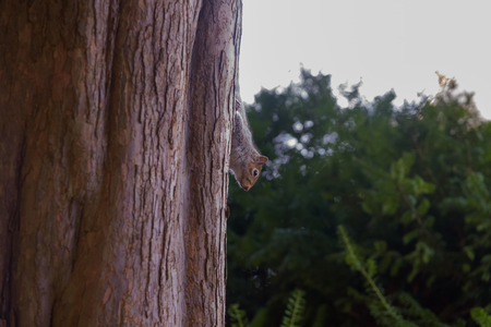 Grey Squirrel climbing down a tree Stock Photo
