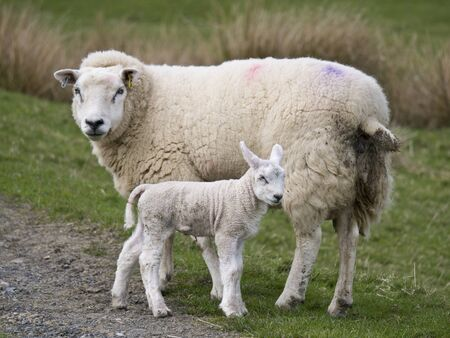 Sheep farming in spring in Cumbria, England, UK